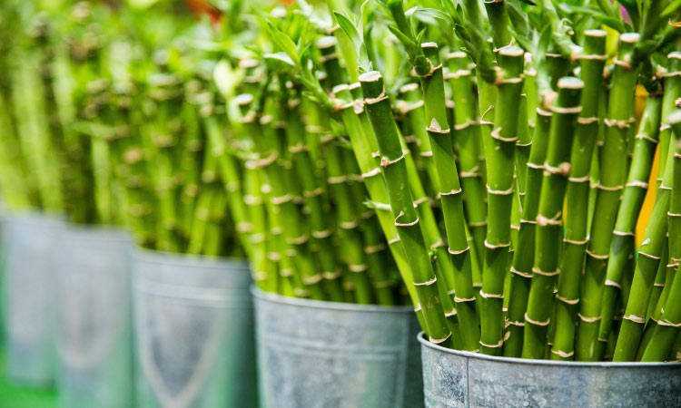5 shiny silver buckets of green bamboo sticks with pale yellow horizontal increments on the stems
